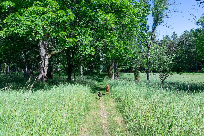 Kaksi koiraa juoksee toisiaan vastaan niittypolulla.